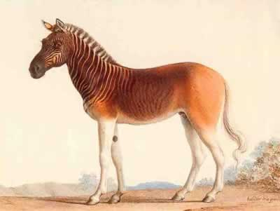 The Quagga, by Irene Tineo Peiró, E1E